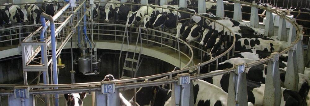 mucche_bovini_allevamento