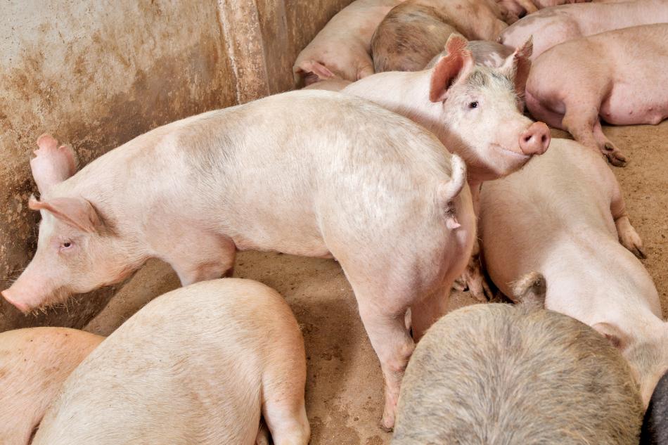 Maiali Suini Pig farm