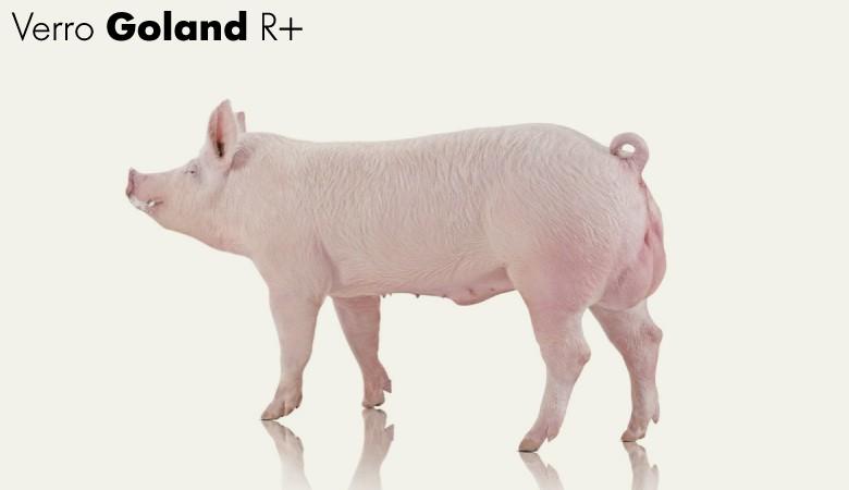 Verro-Goland-R+