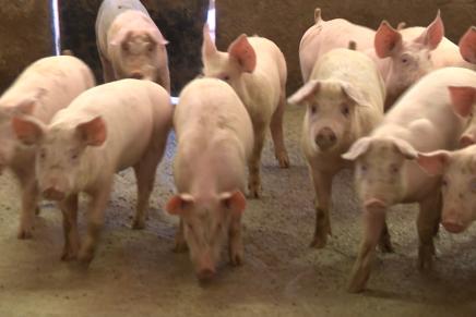Gli allevamenti suinicoli visti da vicino: guarda il video