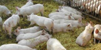 benessere degli animali suini