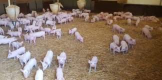 antibiotici negli allevamenti
