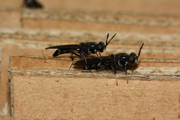 farina d'insetti